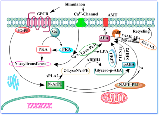 The-potential-enzymes-involved-in-anandamide-AEA-biosynthesis-Stimulation-of-G-protein